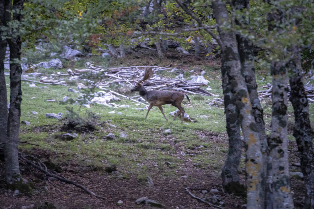 Cervo nel Parco delle Madonie