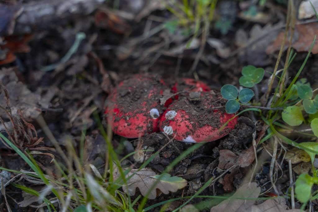 Funghi rossi e bianchi